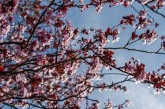 Fleurs de cerisier roses avec le ciel bleu Image stock