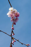 Fleurs de cerisier roses avec le ciel bleu Images libres de droits