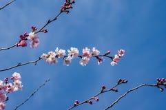 Fleurs de cerisier roses avec le ciel bleu Image libre de droits