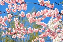 Fleurs de cerisier roses avec le fond de ciel bleu photo stock