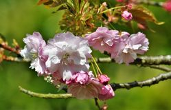 Fleurs de cerisier roses dans le jardin au printemps Images stock