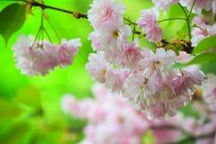 Fleurs de cerisier roses lumineuses Photos libres de droits