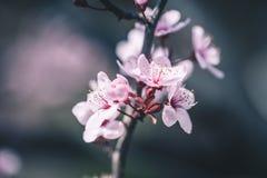 Fleurs de cerisier roses sur un fond doucement brouillé Images libres de droits