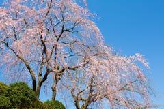 fleurs de cerisier Sakura avec le ciel bleu gentil images stock