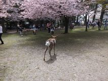 Fleurs de cerisier Sakura en Nara Park, Japon photo libre de droits