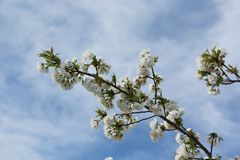 Fleurs de cerisier sur des branches au ressort Image libre de droits