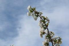 Fleurs de cerisier sur des branches au ressort Images stock