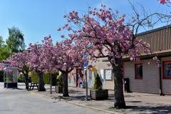 Fleurs de cerisier sur la rue Images libres de droits