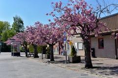 Fleurs de cerisier sur la rue Photographie stock