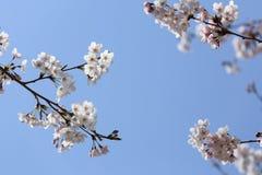 Fleurs de cerisier sur le ciel bleu Image stock