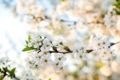 Fleurs de cerisier sur le fond de ciel Plan rapproché fleurissant de ressort Cerisier en fleurs blanches Jour ensoleillé de sourc images stock