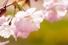 Fleurs de cerisier sur une branche avec le fond vert photos libres de droits