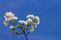 Fleurs de cerisier sur une branche, sur un ciel bleu Photos libres de droits
