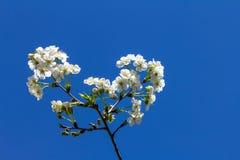 Fleurs de cerisier sur une branche, sur un fond de ciel bleu images stock