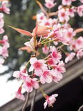 Fleurs de cerisier thaïlandaises Images stock