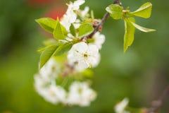 Fleurs de cerisier une journée de printemps dans le jardin Photos stock
