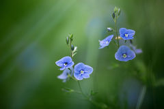 Fleurs de chamaedrys de Veronica photos stock
