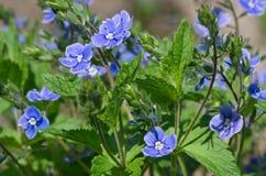Fleurs de chamaedrys de Veronica dans le jardin photos stock