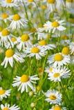 Fleurs de chamomilla de Matricaria Photographie stock
