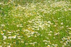 Fleurs de chamomilla de Matricaria sur le pré Photographie stock