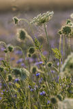 Fleurs de champ à l'aube Image stock