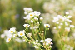 Fleurs de champ Photographie stock libre de droits