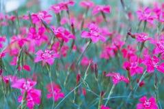 Fleurs de champ Oeillets de champ dans le pré image stock