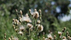 Fleurs de chardon blanc banque de vidéos