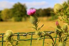 Fleurs de chardon dans un pré Photos libres de droits