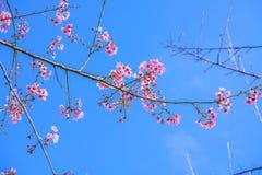 Fleurs de Cherry Blossom Sakura avec le ciel bleu photos stock