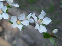 Fleurs de Chery Photos stock