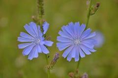 Fleurs de chicorée Image libre de droits