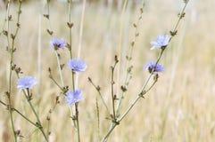 Fleurs de chicorée dans le domaine Photos stock