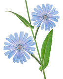 Fleurs de chicorée Photos libres de droits