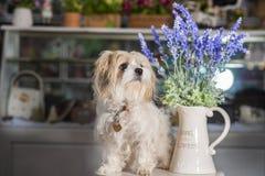 Fleurs de chien et de lavande de caniche dans le vase blanc utilisé pour la décoration à la maison photo libre de droits