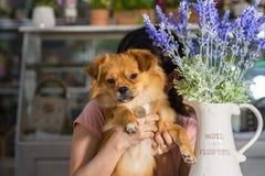 Fleurs de chien et de lavande de caniche dans le vase blanc utilisé pour la décoration à la maison images libres de droits