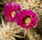 Fleurs de Cholla Photo stock