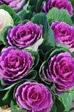 Fleurs de chou Photographie stock libre de droits