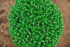 Fleurs de chrysanthème Image libre de droits