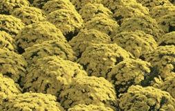Fleurs de chrysanthème Images stock