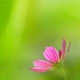 Fleurs de chrysanthème Photographie stock libre de droits