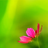 Fleurs de chrysanthème Photo libre de droits