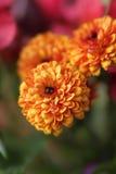 Fleurs de chrysanthème de chute Image libre de droits