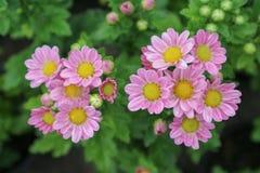 Fleurs de chrysanthème et mignon roses dans le jardin Photos libres de droits