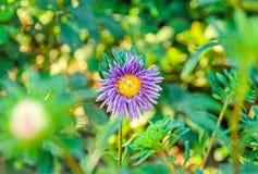 Fleurs de chrysanthème, mamans ou chrysanths mauve et violets Photo stock
