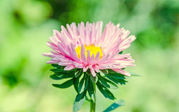 Fleurs de chrysanthème, mamans ou chrysanths roses, végétation verte Image libre de droits