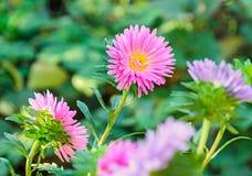 Fleurs de chrysanthème, mamans ou chrysanths roses, végétation verte Photos libres de droits