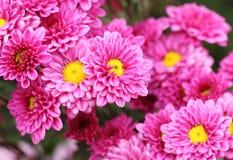 Fleurs de chrysanthèmes Image libre de droits