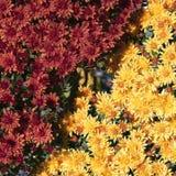 Fleurs de chrysanthèmes Images stock