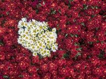 Fleurs de chrysanthèmes image stock